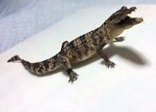 100% Genuine real crocodile 35cm stuffed taxidermy.