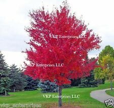 25 CAROLINA RED SCARLET MAPLE Tree Acer Rubrum Seeds Organically Grown & Harvest