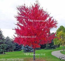 25 CAROLINA RED SCARLET MAPLE Tree Acer Rubrum Seeds Organically Grown & Harvest