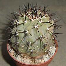 Copiapoa cinerea 647 Cactus Plant Eriosyce Ariocarpus Astrophytum Aztekium