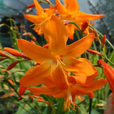 Crocosmia Star of the East, Montbretia, Orange, 1 Bare Root Corm/tuber/bulb