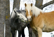 Art Poster - Grey and Brown Horses - Sweet Faces  A3 Print