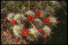 177073 CACTUS fioriture nella primavera FORMATO A4 FOTO STAMPA