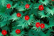 Cardinal Climber 40 Fresh Seeds Brilliantly Bright Red Trumpet Shaped Blooms