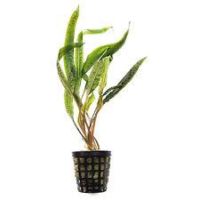 PIANTA PIANTE ACQUARIO FACILE EASY LIVE AQUARIUM PLANT CRYPTOCORYNE BALANSAE !