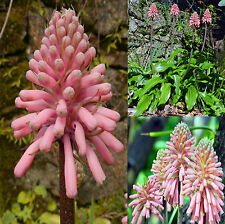 Veltheimia bracteata forest lily sand onion winter red hot poker bulbous 6 Seeds