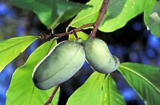 Fresh Paw Paw Fruit Tree ( 5 Seeds )*  Pawpaw The Indiana Banana *New Crop Seeds
