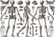 Art poster os humains 1850 medical anatomie imprimer