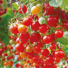 Vegetable Seed - RED CHERRY TOMATO SEEDS- Hybrid Vegetable Seeds