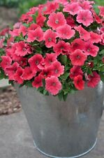 """Trailing Petunia Seeds Success Coral 25 Pelleted Seeds """"NEW"""" true color"""