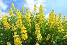 Lupinus arboreus Yellow (Tree Lupin) - 25 seeds. Sweetly fragranced flowers.