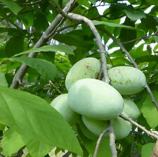 """2  SELECT PAWPAW  TREE  SEEDLINGS, IN TALL TRAINER POTS,10-12"""" HEIGHT"""