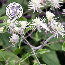 Rare Clematis flammula, Fragrant Virgin's Bower  - 5 seeds - UK SELLER
