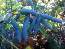 Decaisnea fargesii, Blaugurke, Blauschote, 80-100cm