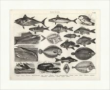 Thon stichling Orphie turbot Brockhaus images Atlas zoologie 23