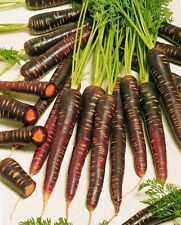 30+PURPLE HAZE CARROT RARE SEEDS