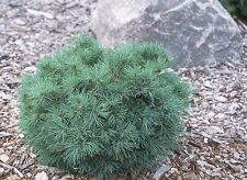 Pinus strobus Sea Urchin grafted  in 7cm pot bonsai subject