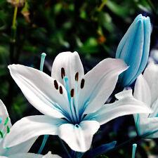 50pcs Oriental Lily Stargazer Green Scented Perennial Garden Flower Bulbs Seeds