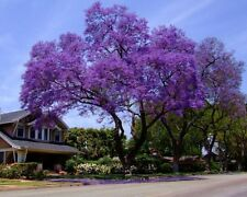 Royal Empress Tree 300 Seeds Stunning Purple Flowers in Spring Fast Growing!
