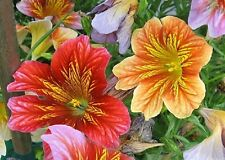 500 Graines Salpiglossis Sinuata, 'Painted Tongue' seeds