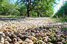 Rare * Prunus dulcis Variety Padre * Padre Sweet Almond * 3 seeds/nuts *zone 6