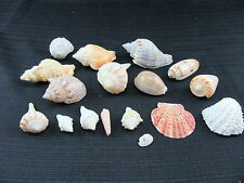 SHELL LOT CRAFTS BEACH DECOR WHELK CONCH TRITON CONE OLIVE BABYLON COWRIE
