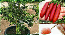 "SEEDS – RARE Dwarf Australian ""Red Finger Lime"" or ""Citrus Caviar"" Fruit Tree"