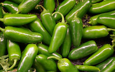 Pepper Seeds - JALAPENO CHILI - Warm, Burning Sensation When Eaten - 20 Seeds
