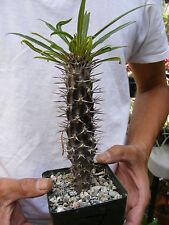 Pachypodium Lamerei  Madagascar Palm Cactus -7