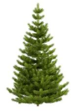 Picea abies (Norway Spruce) - 25 seeds.  Grow your own traditional Xmas tree!