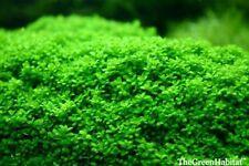 Dwarf Baby Tears Hemianthus callitrichoides Cuba Live Aquarium Plants Fish Moss