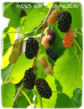Morus nigra 'Black Mulberry'  [Prov. Germany] 100+ SEEDS