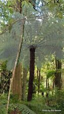 Hardy Silver NZ Tree Fern (Cyathea Dealbata) - 25+ Fresh Spore (seeds)