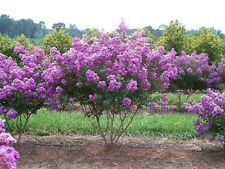 35+ LILAC CRAPE MYRTLE TREE /SHRUB /FLOWER SEEDS / DROUGHT TOLERANT PERENNIAL
