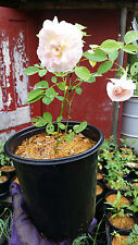 Rose Bush MORDEN BLUSH-Own Root-2 yr HARDY Plant Stock