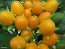 Eine attraktive Kübelpflanze für Wintergarten und Terrasse: der Samtpfirsisch !