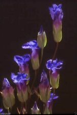 Fringed Gentian,Gentiana crinita,Perennial Flowers,100 Seeds ROYAL BLUE BLOOMS