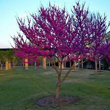 Eastern Redbud Tree Seeds (Cercis canadensis) 20+Seeds