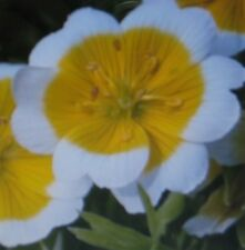 POACHED EGG FLOWER *  50 SEEDS *  SHOWY * RARE *