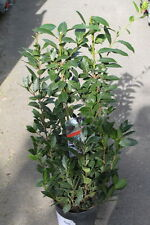 Laurus Nobilis - Real Large Bay Tree Bush- Can Be Used For Culinary Purposes-