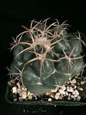 Coryphantha elephantidens, cactus plant