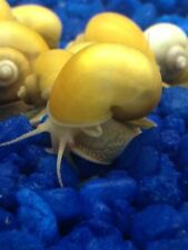2 GOLDEN MYSTERY SNAILS FRESHWATER AQUARIUM SNAIL