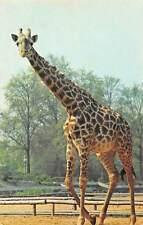 Wild Animal, Giraffe at the London Zoo, Photo by M. Lyster, Fauna