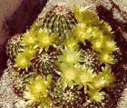 Winterharter Kaktus Echinocereus viridiflorus Samen/ Geschenkidee für den Freund