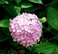DIY Home Garden Potted or Yard 10 Pink Hydrangea Seeds Flowers 3
