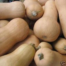 Butternut Pumpkin seed, calabaza good to eat 20 seeds