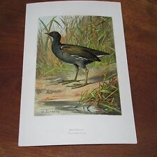 Antique Victorian Lithograph Print of the MoorHen Bird by A. Thorburn, 1880's