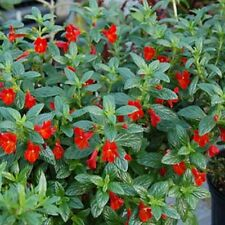 Mimulus- Monkey flower- Red- 100 Seeds - 50 % off sale