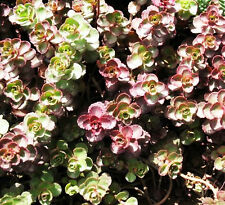 Stonecrop Seeds 50 Seeds Sedum Red Leaves Rhodiola Rosea Garden Seeds Hot A134