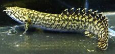 Ornate Bichir Live Freshwater Aquarium Fish